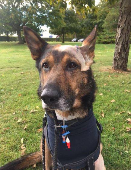 Finn the police dog stabbed in Stevenage