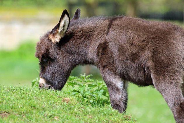 Donkey foal Penny