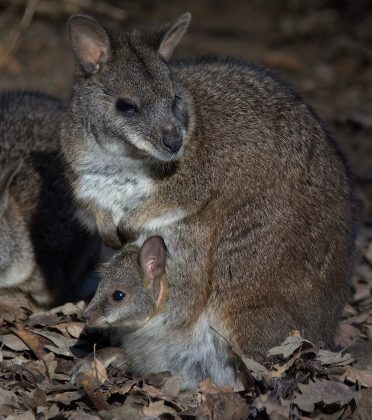 Parma Wallaby with joey in pouch